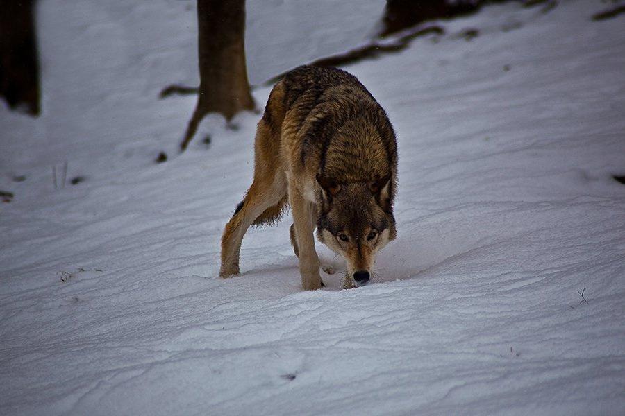 Wolf searching in snow