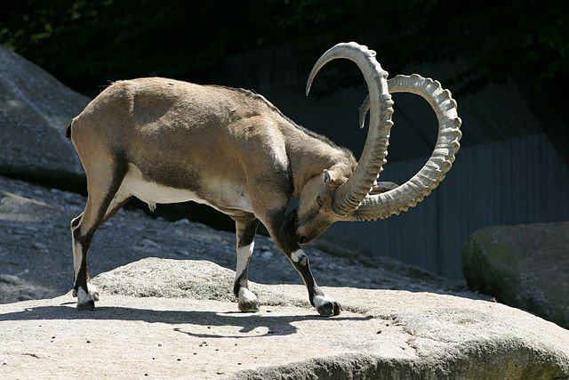 Mmmm yummy! Ötzi loved nothing better than tucking into a barbecued Ibex. Scientists have revealed that this was part of his last meal before death. (Photo: Wikimedia)
