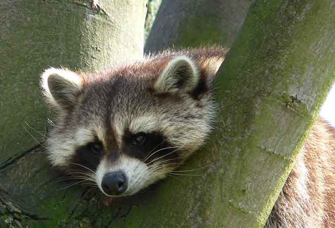 Like this raccoon, Thean See Xien was bored, so he decided to sing national anthems. We realise this does not help the raccoon due to the fact they can't sing. (Photo: Wikimedia)