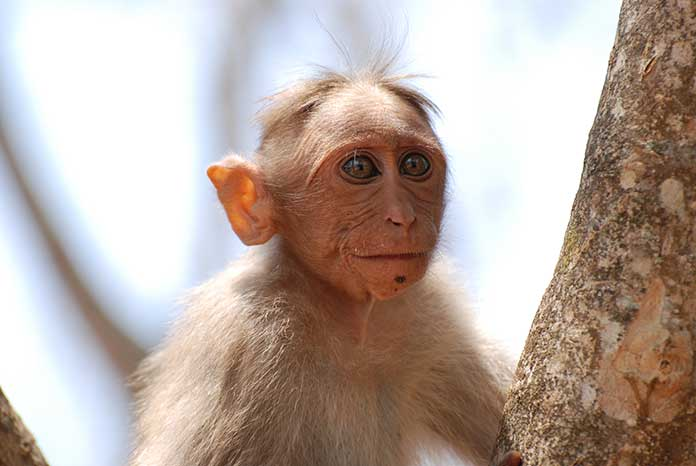 Dave the macaque ponders if banana jeans come in his size and are they edible.