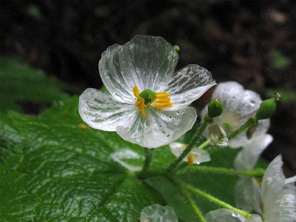 The skeleton flower, or Diphylleia Grayi, undergoes a beautiful transformation when it rains. (Photo: Yamaiki)