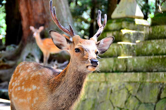 Undeniably cute but not the brightest. Barking trains could be the best friend a Sika deer ever had. (Photo: Wikimedia)