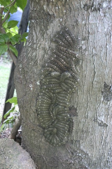 Band Meeting? No, the correct term for a group of caterpillars is an 'Army'. Consider yourself educated. (Photo: Wikimedia/Centro de Informações Toxicológicas de Santa Catarina)
