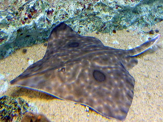 Bladder? Who needs a bladder, totally over-rated! The Skate fish has no bladder which means it excretes uric acid through its skin. (Photo: Wikimedia/OpenCage.info)