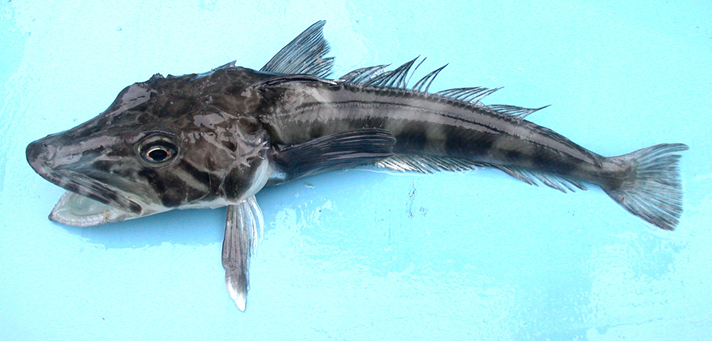 Chionodraco rastrospinosus (Ocellated icefish). Photo taken close to the South Shetland Islands. (Wikimedia Commons/ Valerie Loeb)