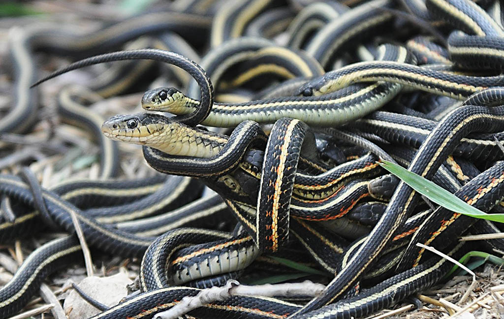 Apparently snakes have friends. According to a recent study eastern garter snakes seek friendship and are choosy about who they buddy-up with. (Photo: Wikimedia/Oregon State University)