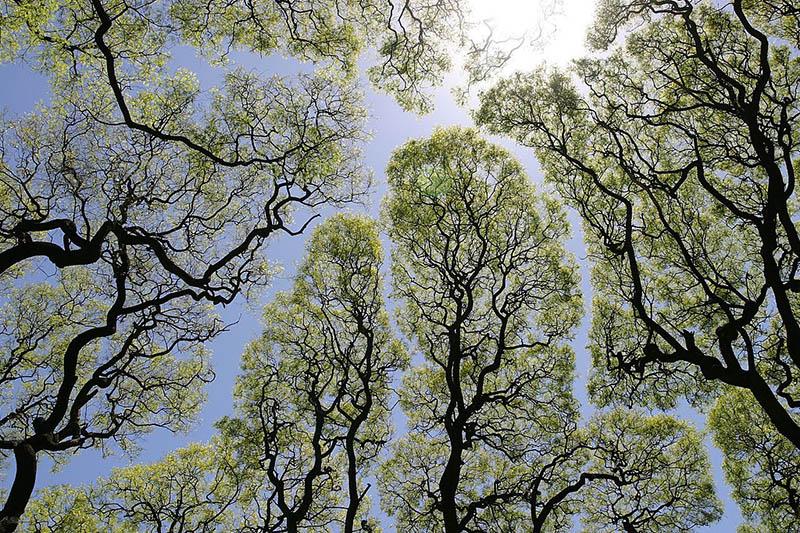 The unusual phenomenon of crown shyness has scientists stumped. Regardless, the wonderful patterns it creates can be breathtaking. (Photo: Wikimedia/Dag Peak)