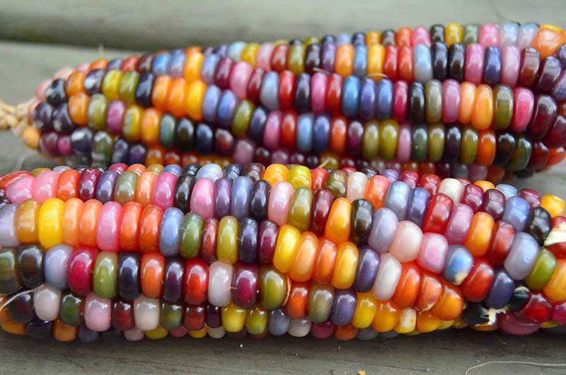 Glass Gem Corn is much more than a pretty picture. The re-discovery of rainbow corn helped restore a precious part of Cherokee heritage to the Native American Tribe. (Photo: Reddit/Cropitekus)