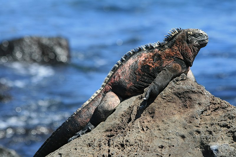 Marine iguana (Amblyrhynchus cristatus) sunning itself on the beach at the Galápagos Islands. (Photo: Wikimedia Commons/RAF-YYC)