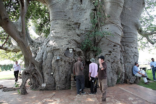 Sunland Baobab, Limpopo, South Africa (Photo: Wikimedia/South African Tourism)