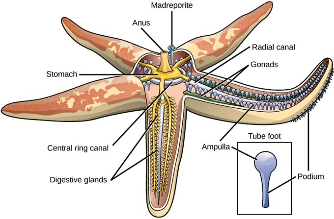 Anatomy of a starfish. (Image: Wikimedia/CNX OpenStax)