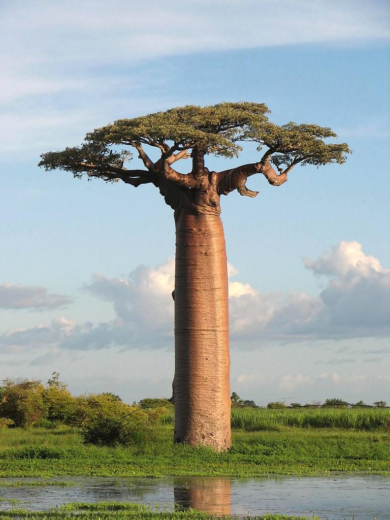 Adansonia grandidieri, or Grandfather's Baobab, near Morondava, Madagascar (Photo: Wikimedia/Bernard Gagnon).