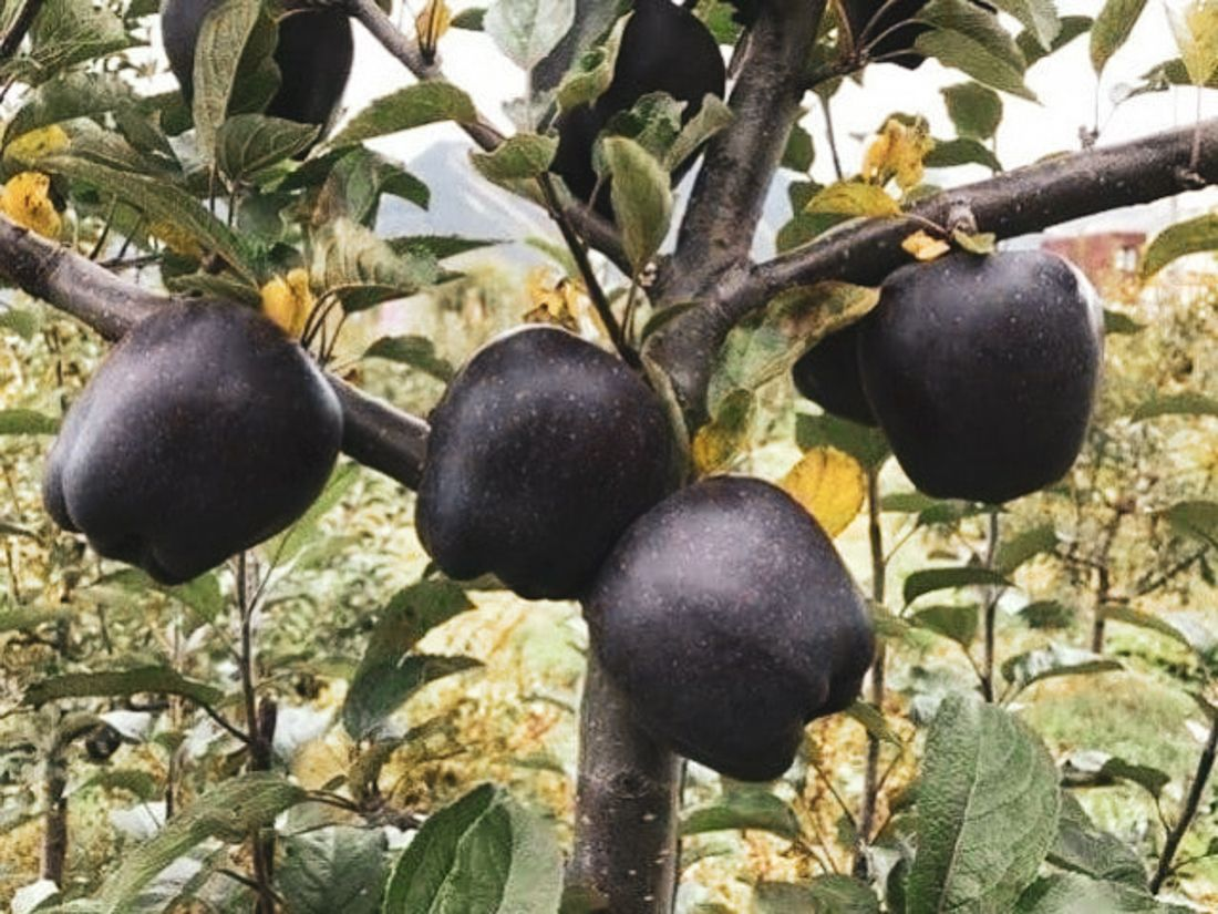Grown in the mountainous region of Nyingchi, Tibet, the Black Diamond apple is such a deep purple color that it appears black. (Photo: Twitter)
