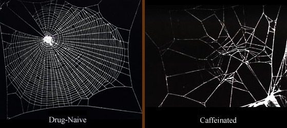 Comparing the web building abilities of an undrugged spider with one given a dosage of caffeine shows a marked difference. (Image: Wikimedia/Astronaut)