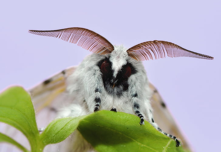 The Venezuela poodle moth is named for its appearance of a cross between a moth and a poodle. (Photo: PickPik)