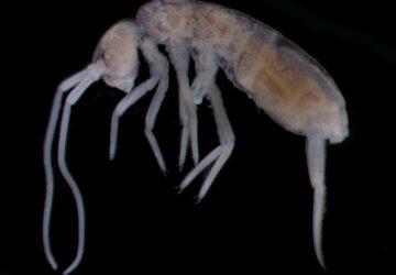 Deep Cave Springtail: The Deepest Land Animal