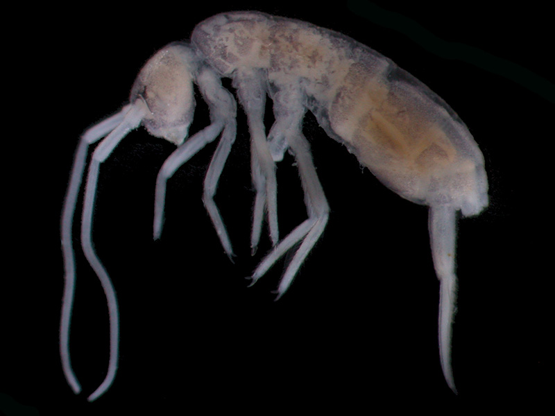 Discovered at a depth of 1980 metres below the earth's surface; the Deep Cave Springtail is currently the world's deepest living creature. (Wikimedia/ Enrique Baquero)
