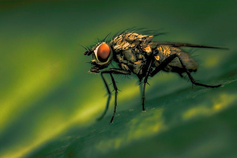 Flies can nap during the day but do the majority of their sleeping at night. In fact the sleeping patterns of flies are remarkably similar to human sleeping habits. (Photo: Pixabay/Janeenga)