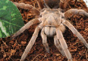 Theraphosa blondi: The Bird Eating Spider