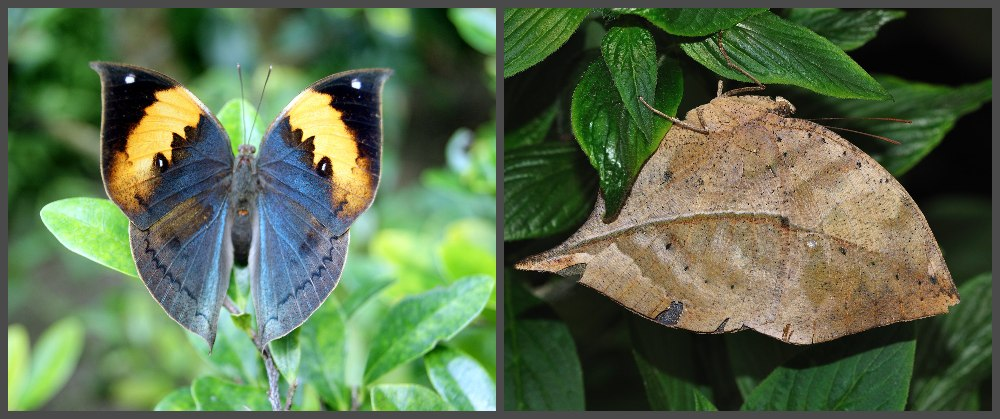 The oakleaf or dead leaf butterfly has beautiful orange and deep blue bands on its wings when they're open. But when the wings are closed, they resemble the veins of a dry leaf. (Photo of upper side: Wikimedia Commons/岡部碩道, Photo of underside: Wikimedia Commons/Quartl)