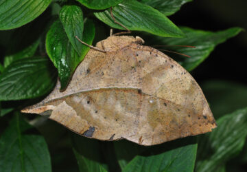 The Dead Leaf Butterfly: Creatures of Camouflage