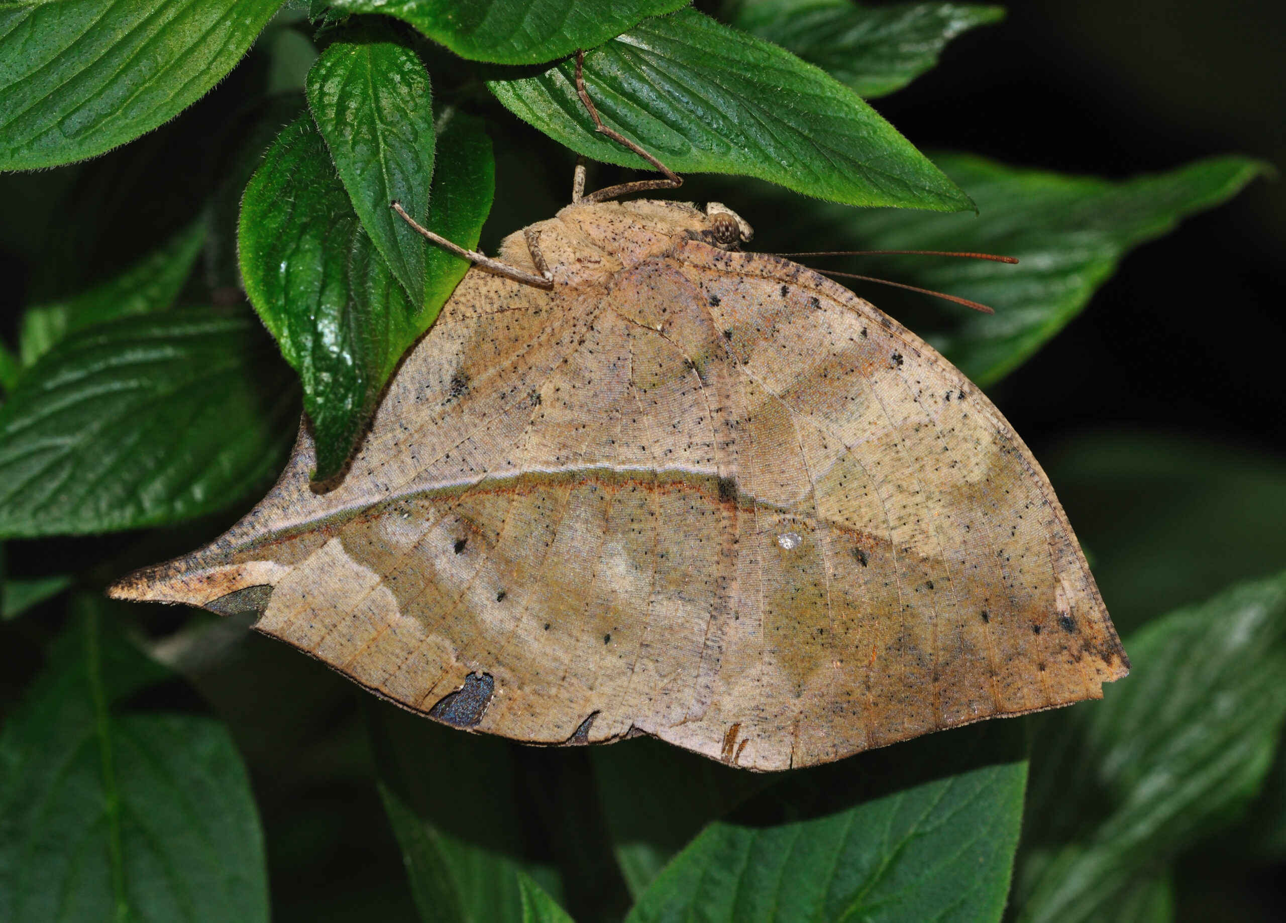 Dead Leaf (Kallima inachus) in the butterfly house of Maximilianpark Hamm, Germany. (Photo: Wikimedia/Quartl)