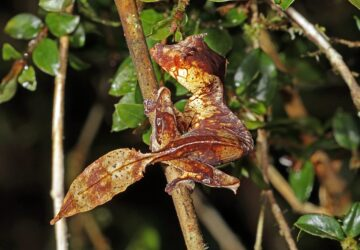 Satanic Leaf Tailed Gecko: Sinfully Skilled in the Art of Disguise