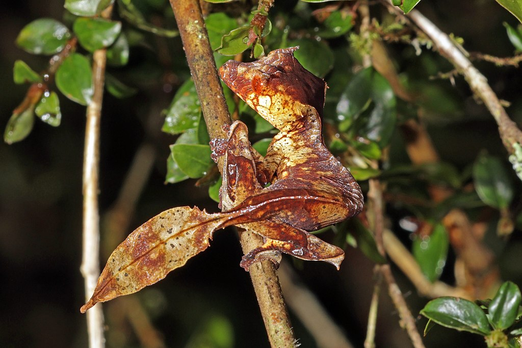 The Ranomafana National Park in Madagascar is one of the homes of the satanic leaf tailed gecko. (Photo: Wikimedia Commons/Charles J Sharp)
