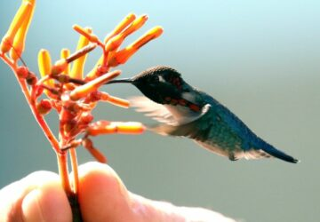 Zunzuncito: What's Life Like for the World's Smallest Bird?