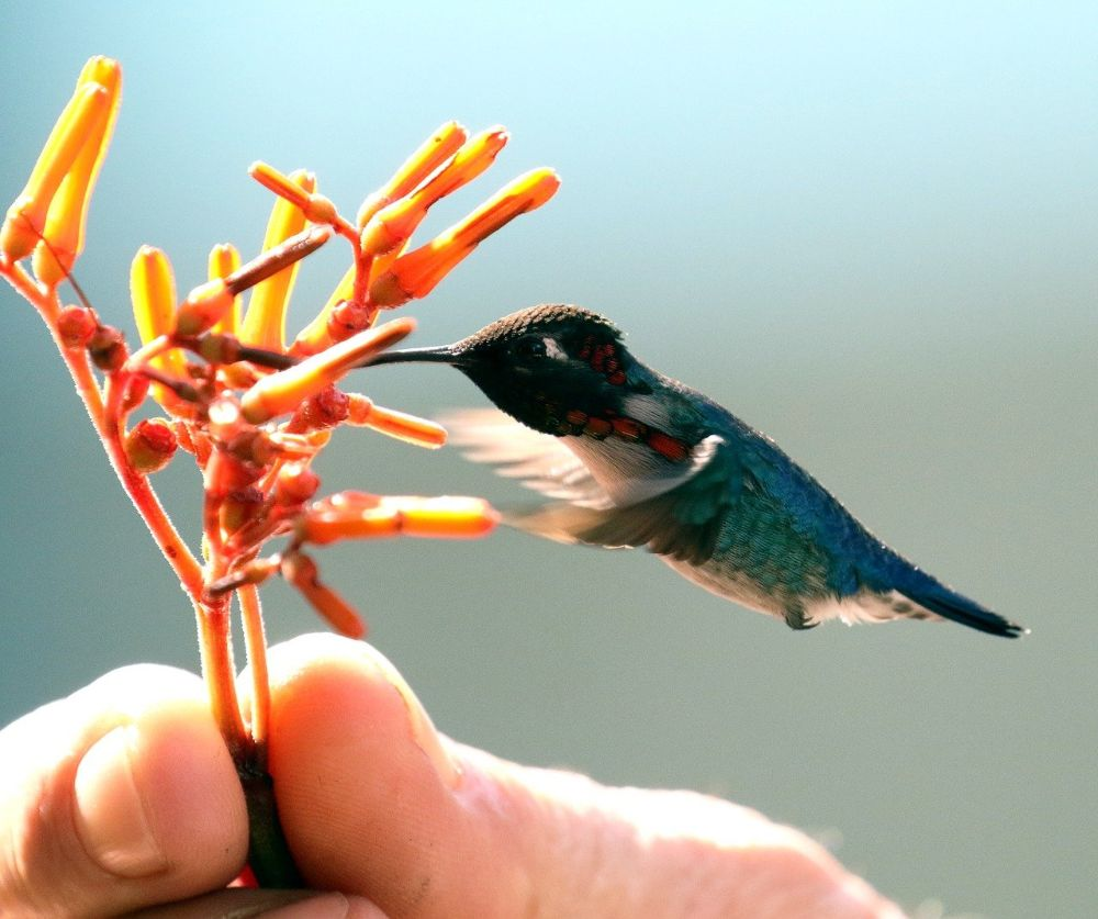 The zunzuncito, or bee hummingbird, is native to Cuba. It evolved into its tiny size so as not to compete with its larger relative, the emerald hummingbird, for resources. (Photo: Pixabay/Anne & Saturnino Miranda)