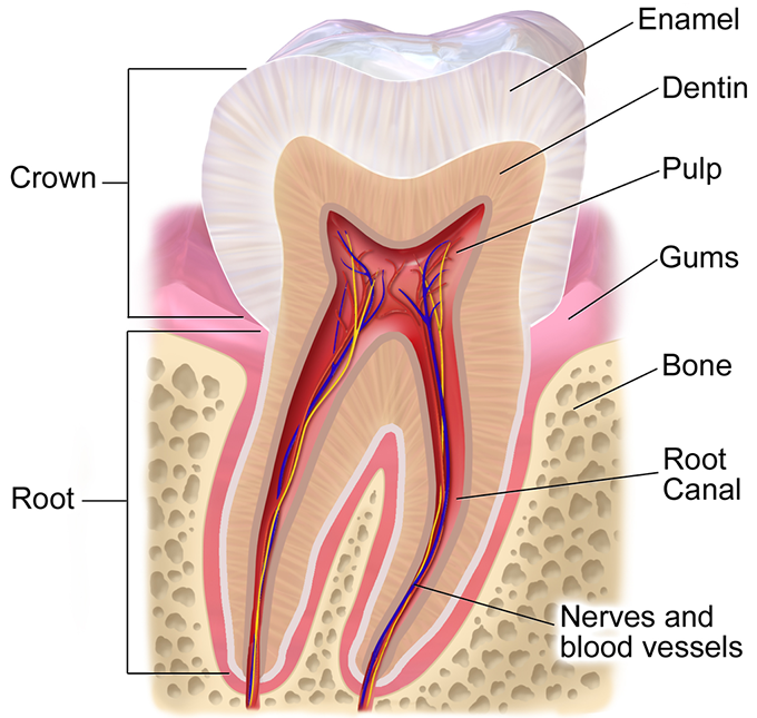 Parts of a tooth, including the enamel (cross section). (Image: Blausen.com)