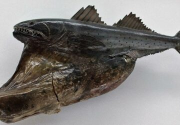 What is The Black Swallower Fish and Should You be Scared?