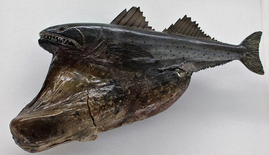 Black swallower (Chiasmodon niger) model, showing the fish after a meal, at the Cambridge University Museum of Zoology, England. (Photo: Wikimedia/Emőke Dénes)