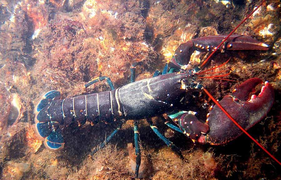 European lobster (Hommarus gammarus) (Photo: Wikimedia/Bart Braun)