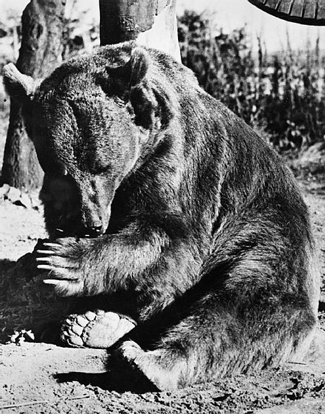 Wojtek (Voytek) the Syrian bear adopted by the 22 Artillery Support Company (Army Service Corps, 2nd Polish Corps) relaxing at Winfield Aerodrome on Sunwick Farm, near Hutton in Berwickshire, the unit's temporary home after the war. (Photo: Wikimedia/Imperial War Museum)