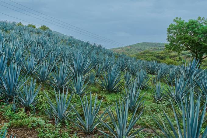 A field of blue agave on a plantation harvesting the crop for tequila production. (Photo: Shutterstock/German Zuazo Mendoza)